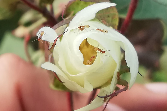 ants on a white cotton plant flower