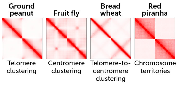 red and white heat maps showing the ways chromosomes interact in peanuts, fruit flies, wheat and red piranhas