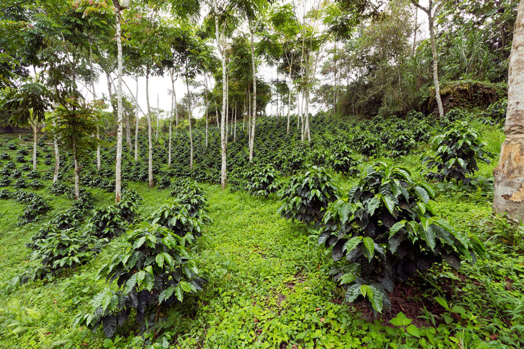 a verdant field with coffee plants planted in rows between trees