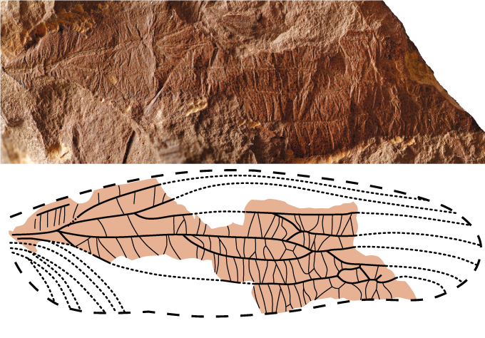 top: fossil of ancient insect wing. bottom: illustration of wing structures of ancient insect Theiatitan azari