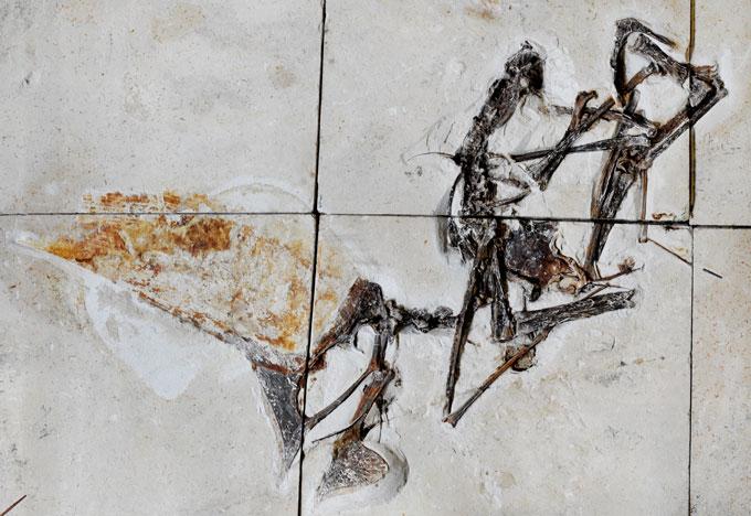 Tupandactylus navigans fossil