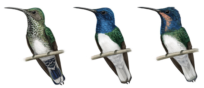 illustration of a female bird with normal coloration, a male bird with a blue head and throat and a juvenile bird with a blue head and a peach throat